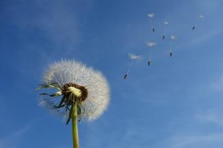 dandelion seeds in the breeze