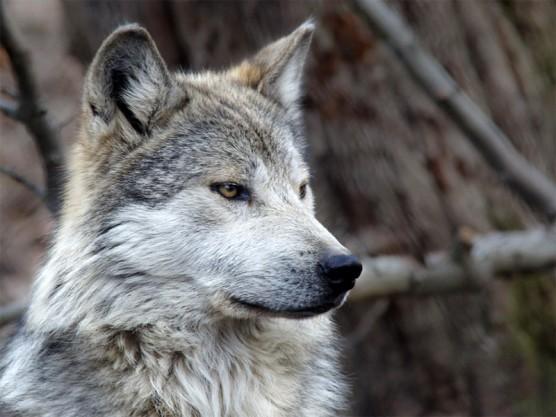 mexican-gray-wolf_don-burkett-800