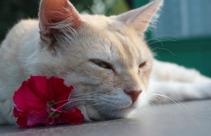 cream colored cat laying with its chin on a red petunia bloom